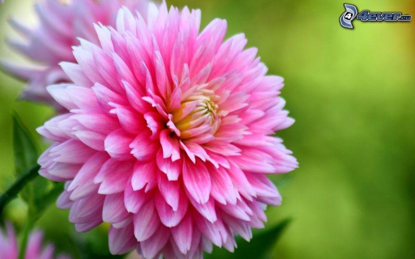 dalia, flor rosa
