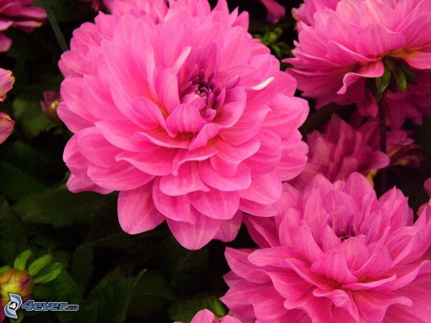 dalia, flores de color rosa
