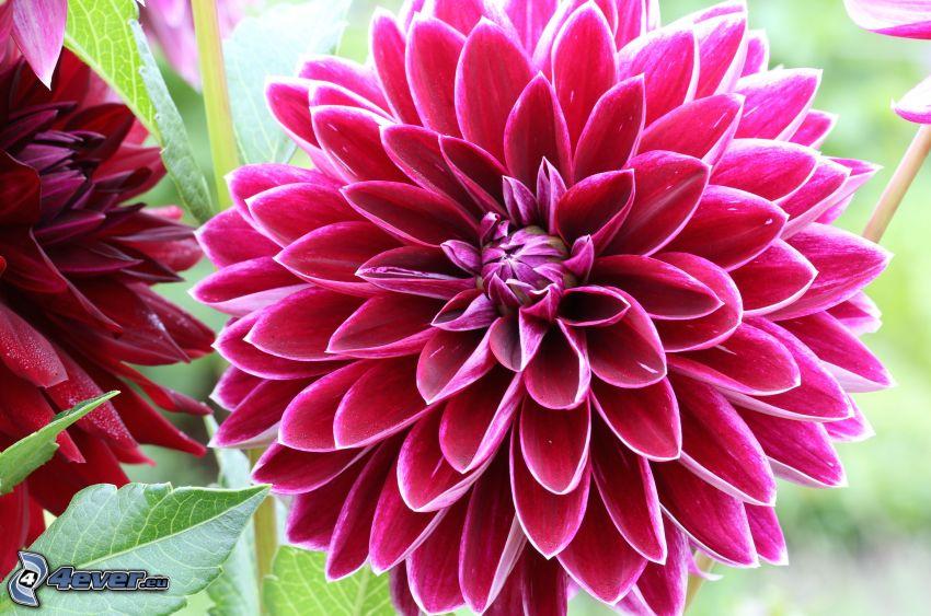 dalia, flores rojas