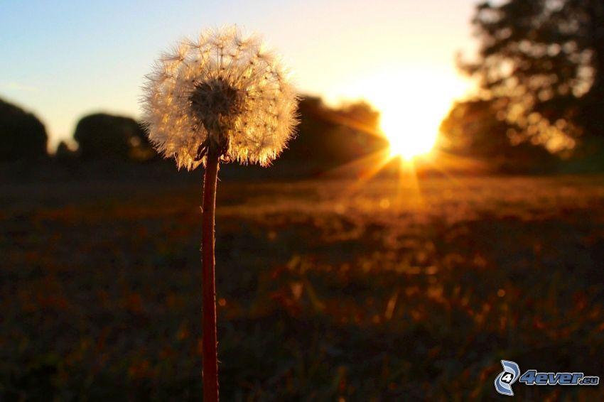 diente de león caída, puesta de sol en la pradera