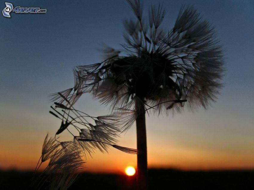 diente de león caída, puesta del sol