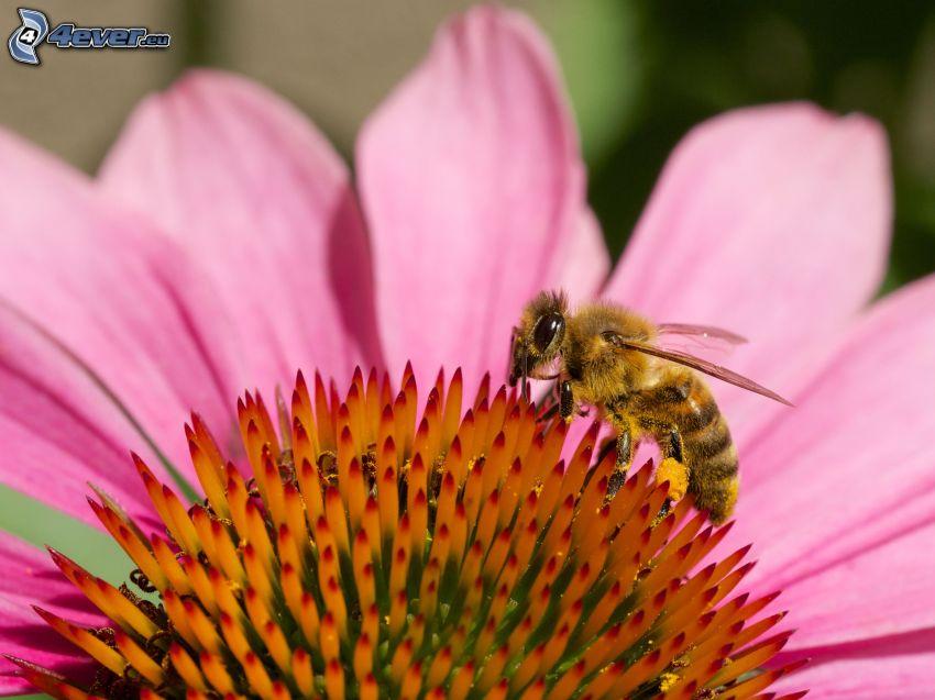 Echinacea, abeja