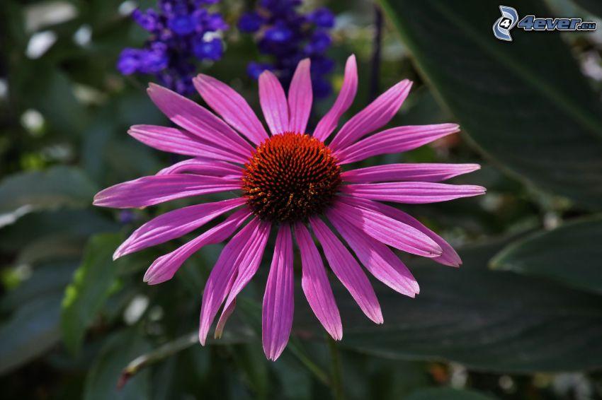 Echinacea, flor púrpura