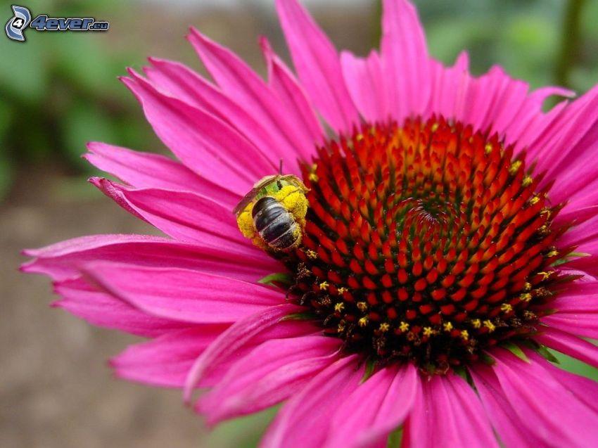 Echinacea, flor rosa, abeja