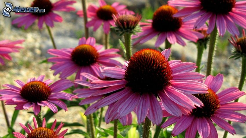 Echinacea, flores de color rosa