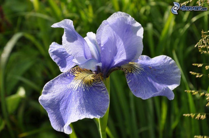 el lirio siberiano, flor azul