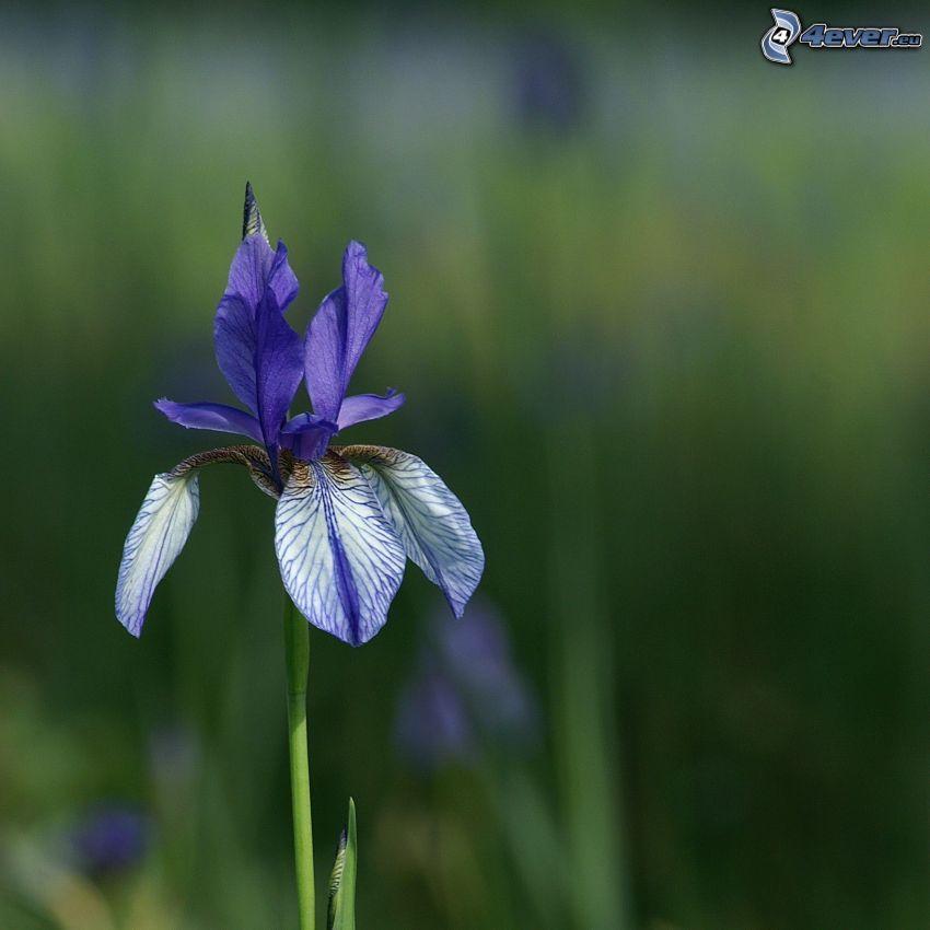 el lirio siberiano, flor púrpura
