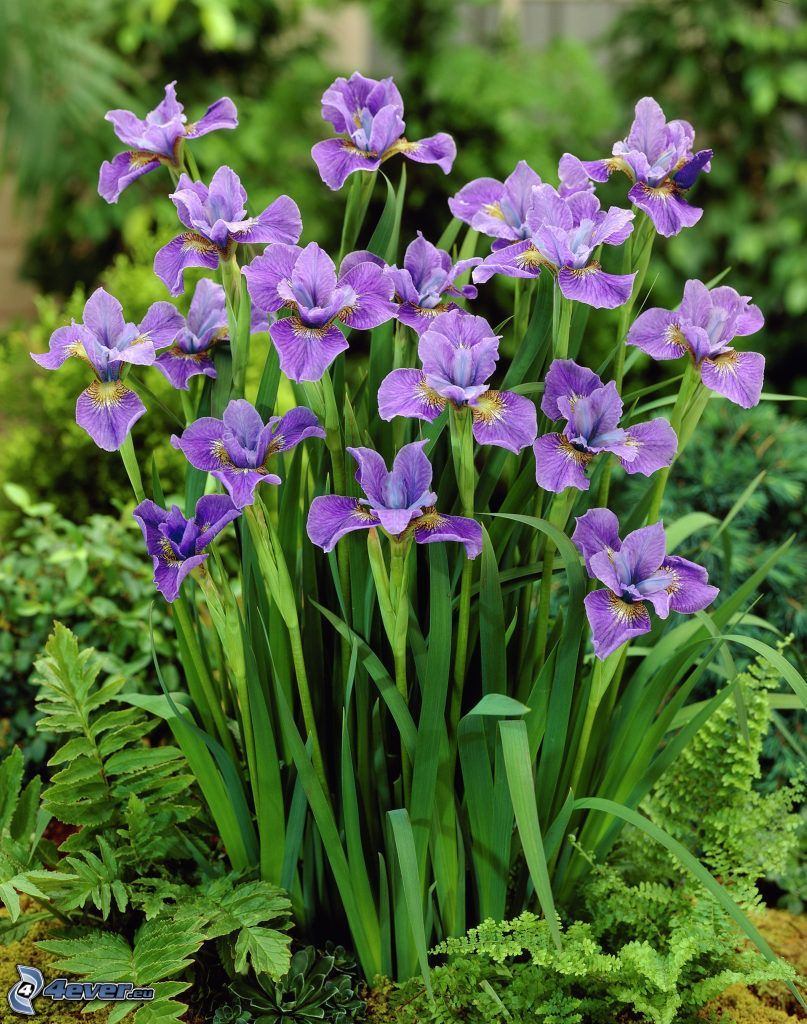 el lirio siberiano, flores de coolor violeta
