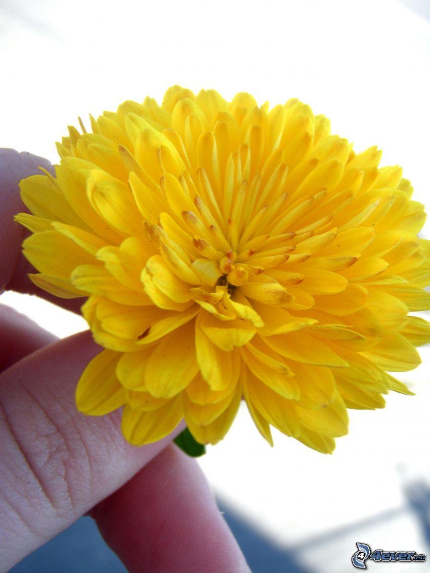 flor amarilla, mano