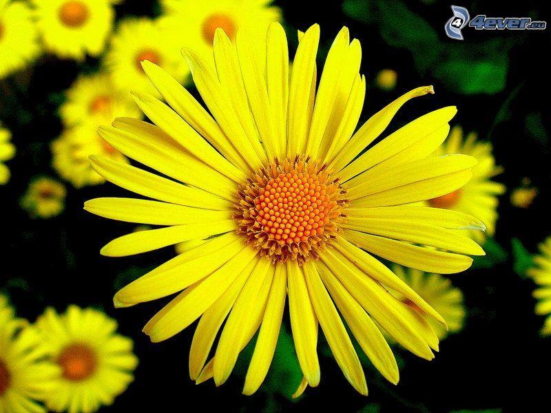 flor amarilla, pétalos de color amarillo