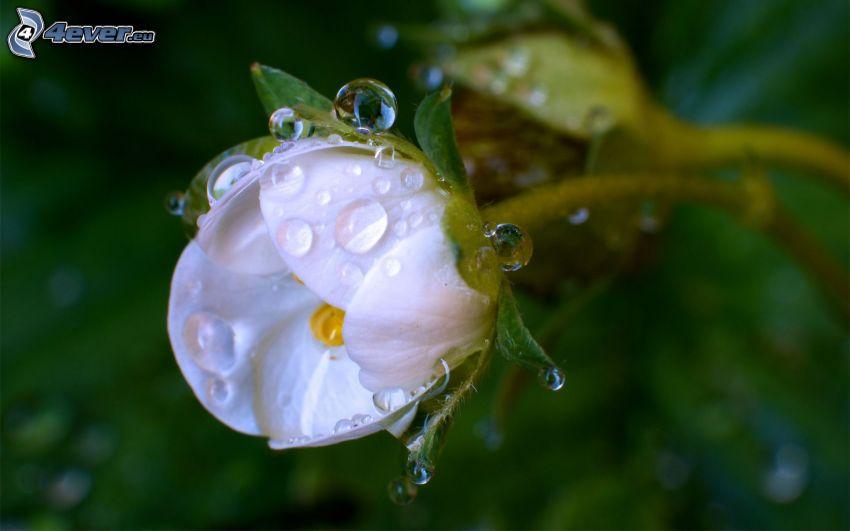 flor blanca, gotas de agua
