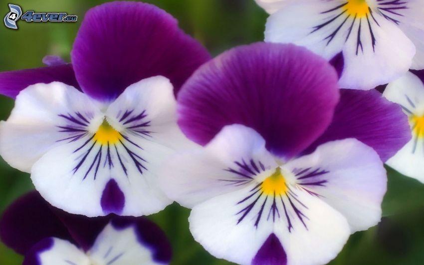 flor de la trinidad