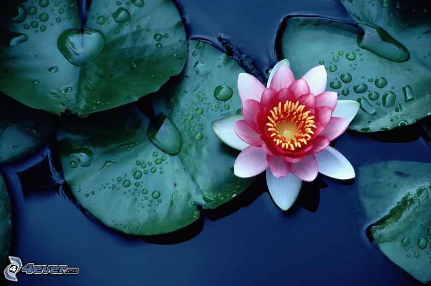 flor de loto, flor rosa, lirios de agua