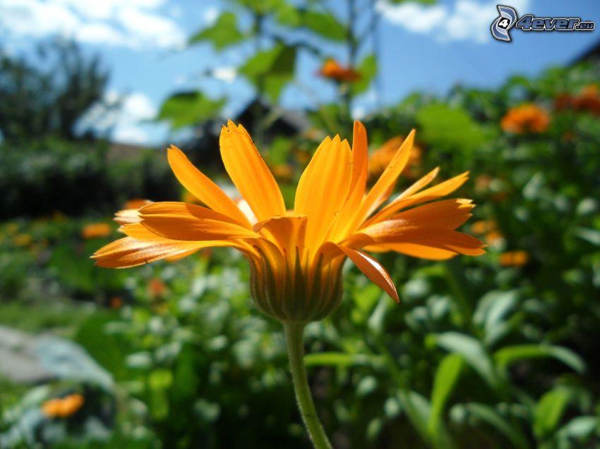 flor de naranja