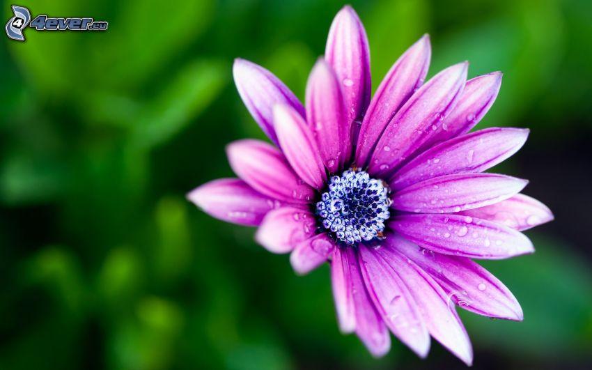 flor púrpura, gotas de agua
