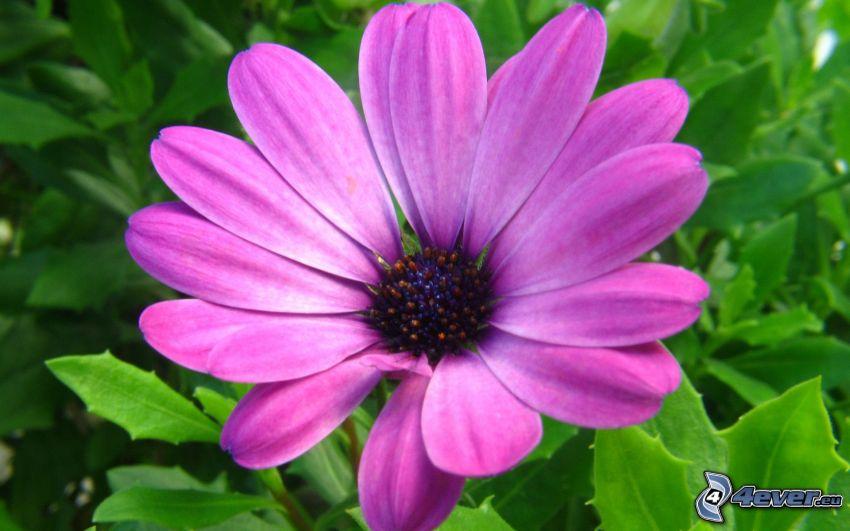 flor púrpura, hojas verdes