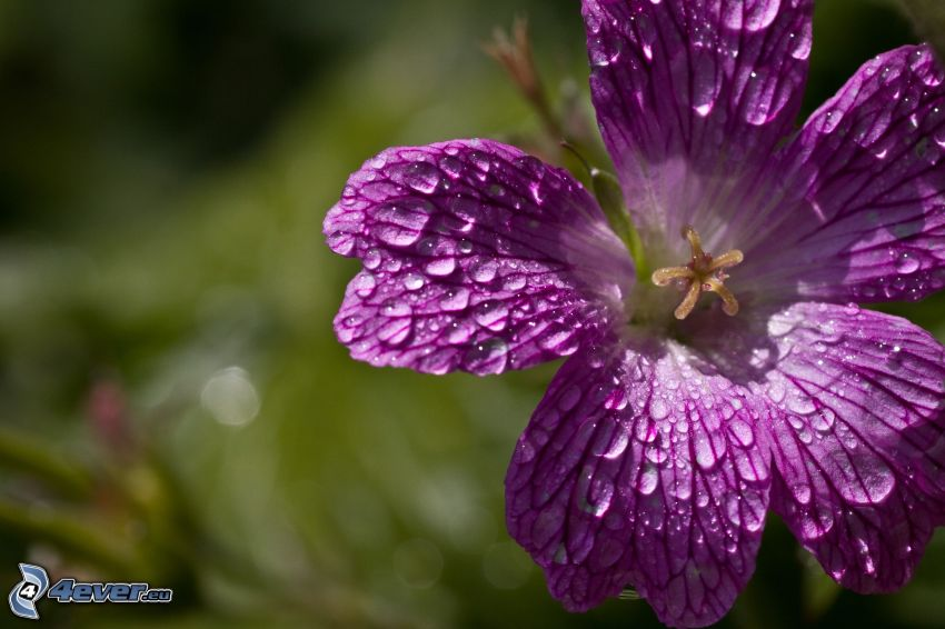flor púrpura, rocío en la flor