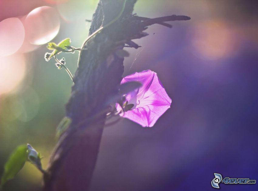 flor púrpura, tribu