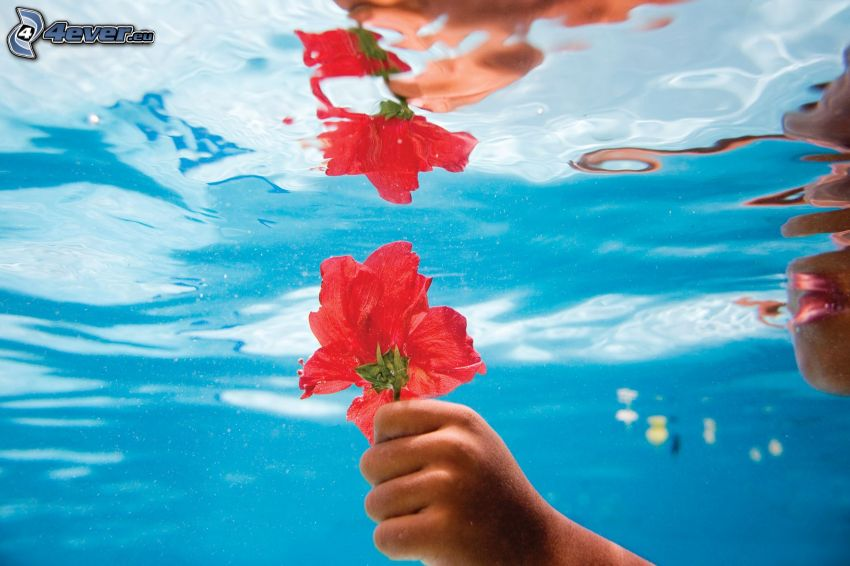 flor roja, mano, agua, reflejo