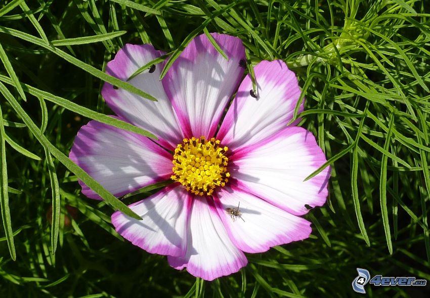 flor rosa, hierba