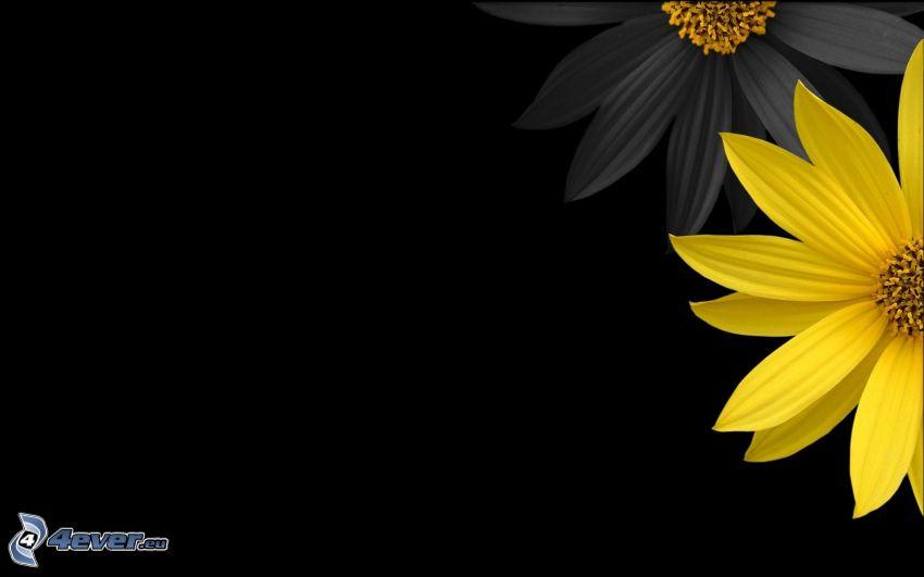 flores, flor amarilla, fondo negro