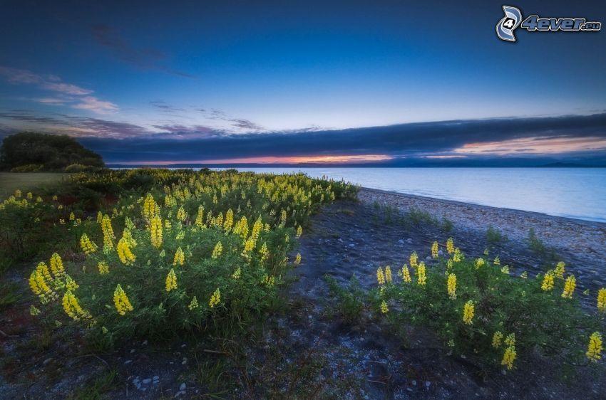 flores amarillas, lago, después de la puesta del sol, atardecer