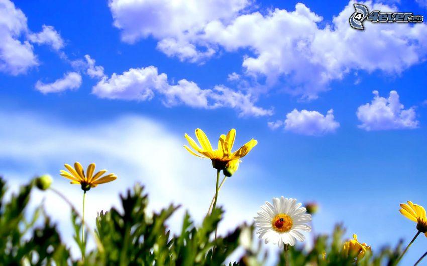flores amarillas, nubes