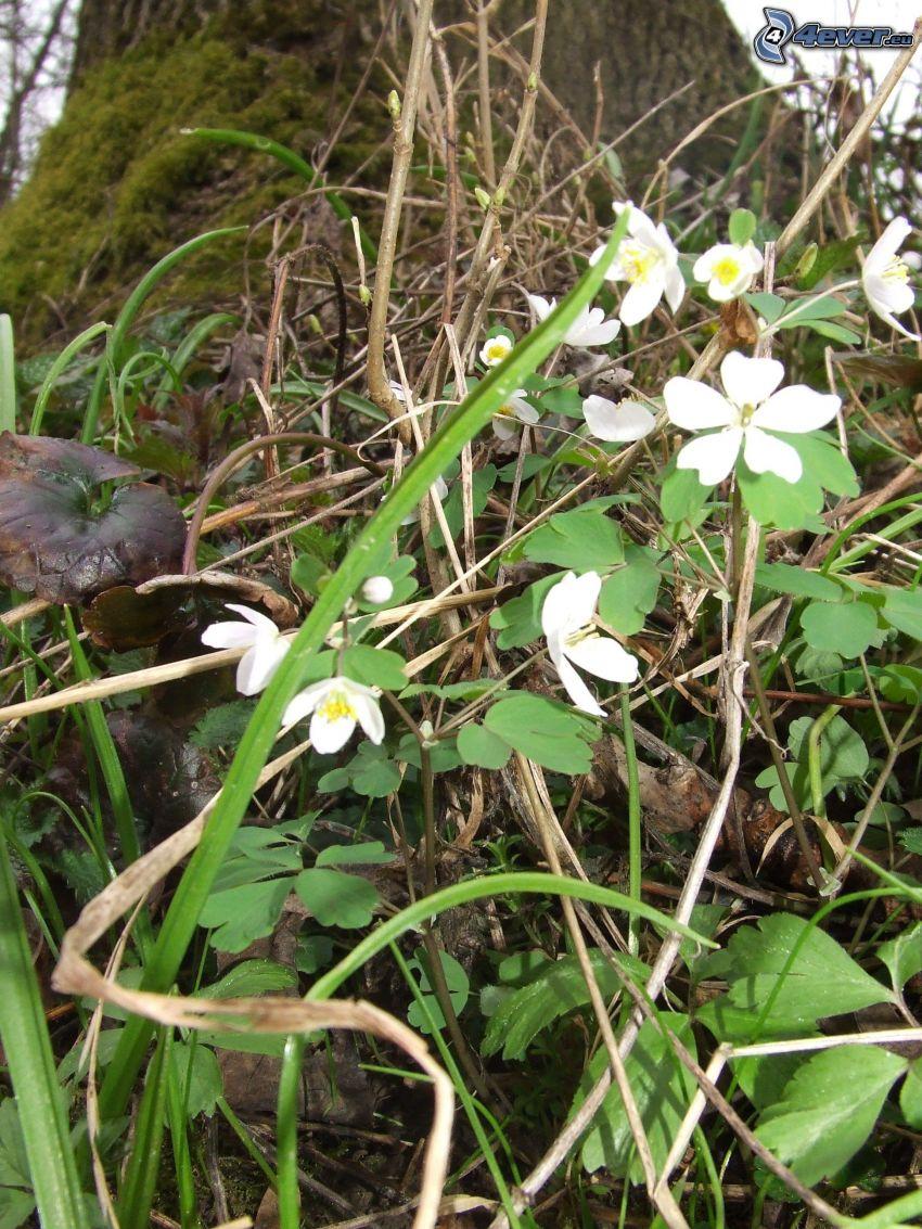 flores blancas, tribu, musgo