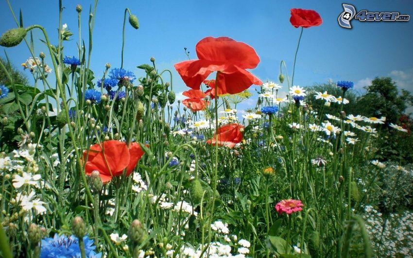 flores de campo, amapola, margaritas, aciano