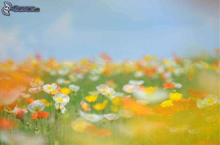 flores de campo, amapola