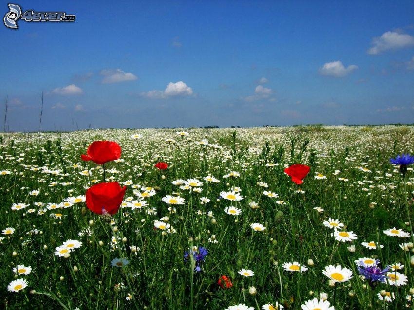 flores de campo, margaritas, aciano, amapola