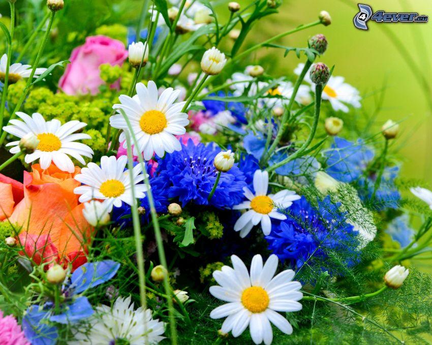 flores de campo, margaritas, aciano