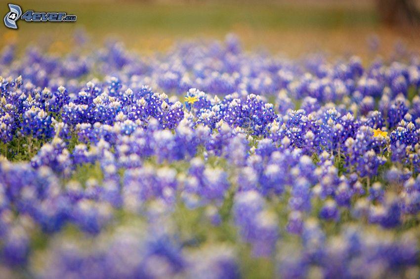 flores de color azul, flores del prado