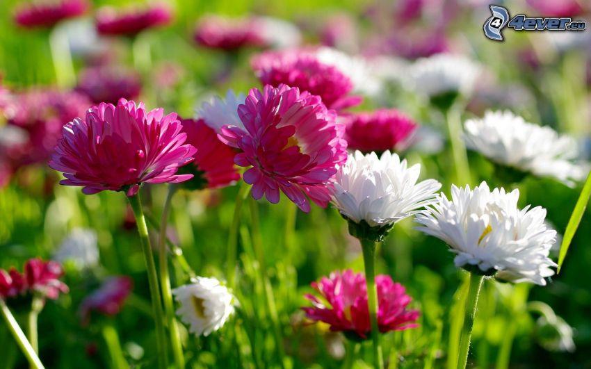 flores de color rosa, flores blancas