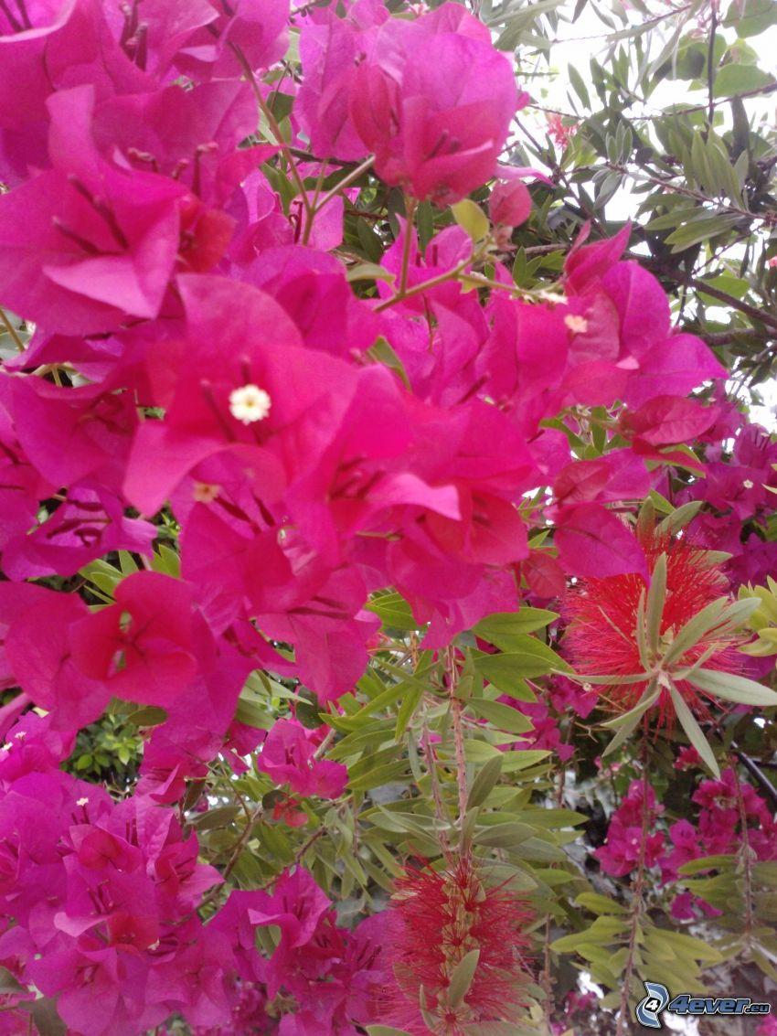 flores de color rosa, hojas