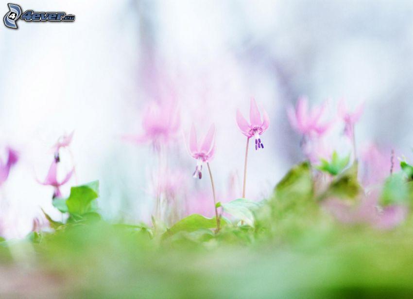 flores de color rosa