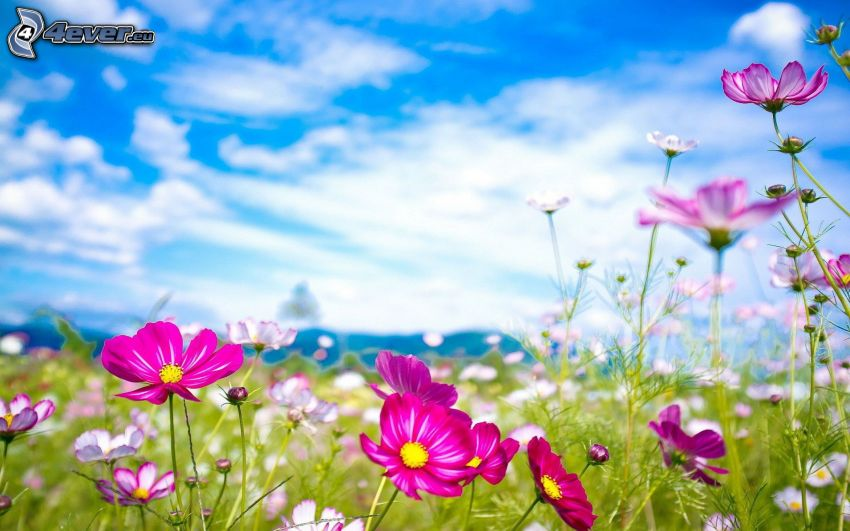 flores de coolor violeta, prado