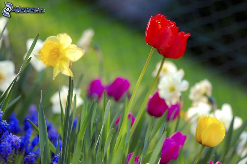 fores de primavera, tulipanes, narcisos