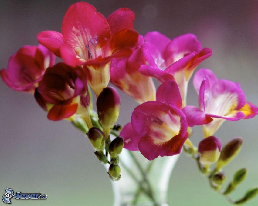 fresia, flores de color rosa