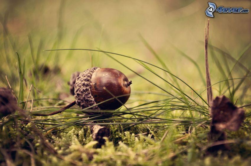 bellota, hierba