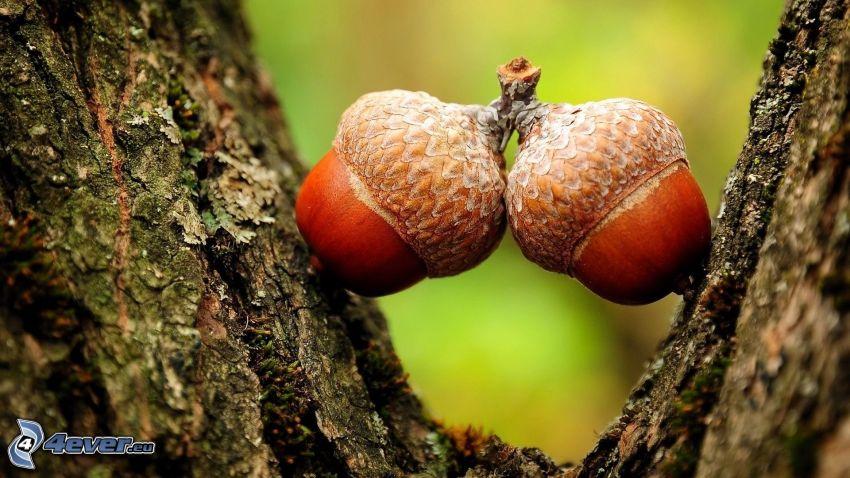 bellotas, corteza de árbol