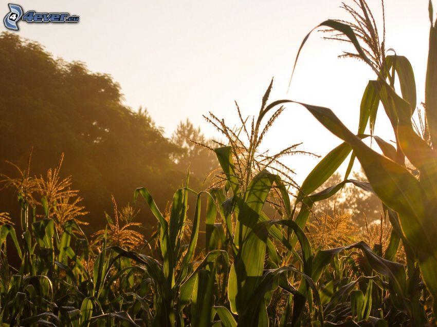 campo de maíz, después de la puesta del sol