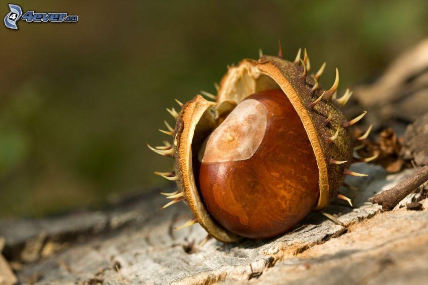 castaña, concha, corteza de árbol