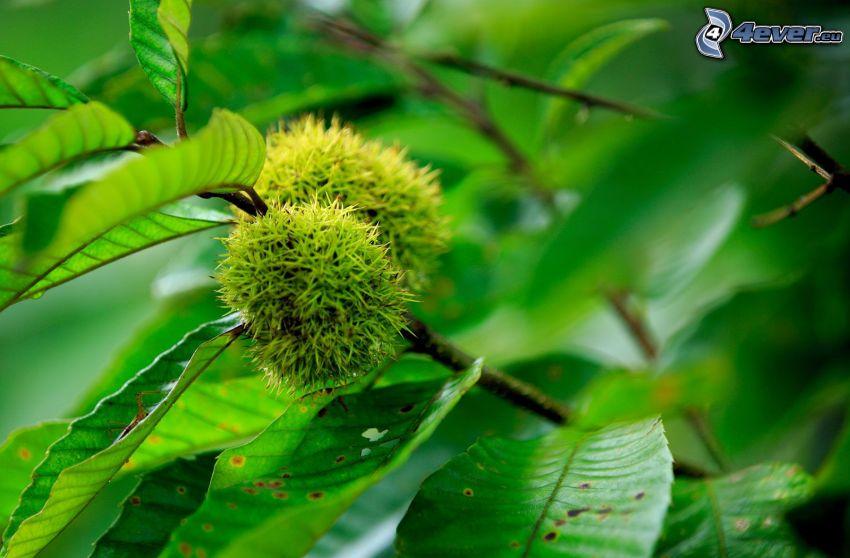 castañas, hojas verdes