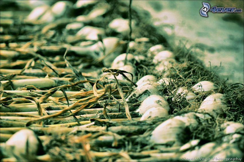 cebolla, cosecha
