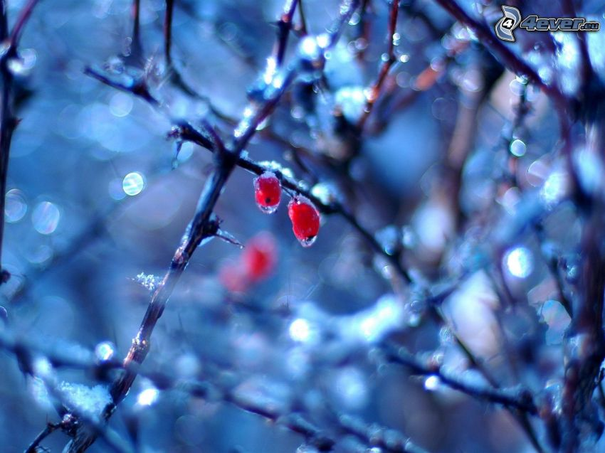 flechas, ramas congeladas
