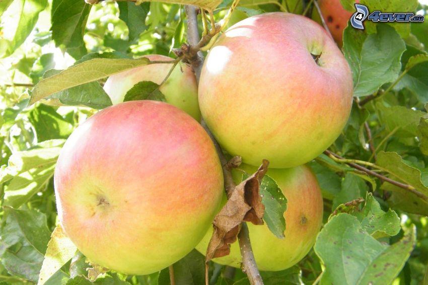 malus, rama, manzanas, hojas