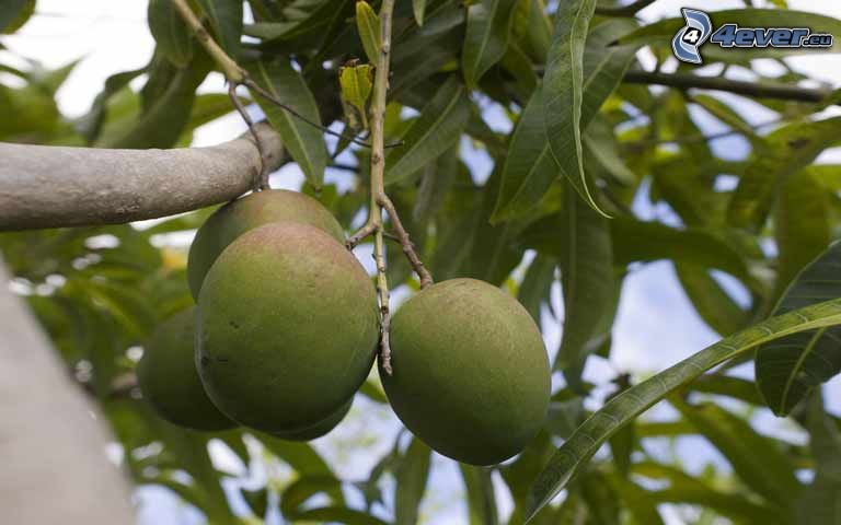 mango, rama, hojas verdes