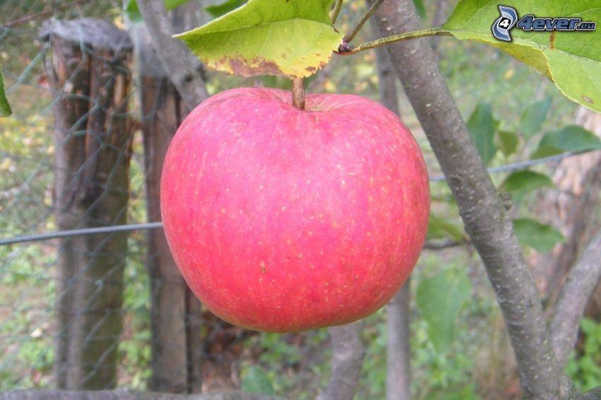 manzana roja, hojas, rama