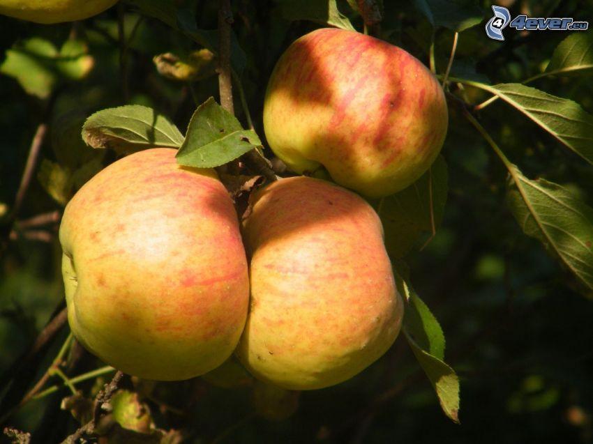 manzanas, hojas